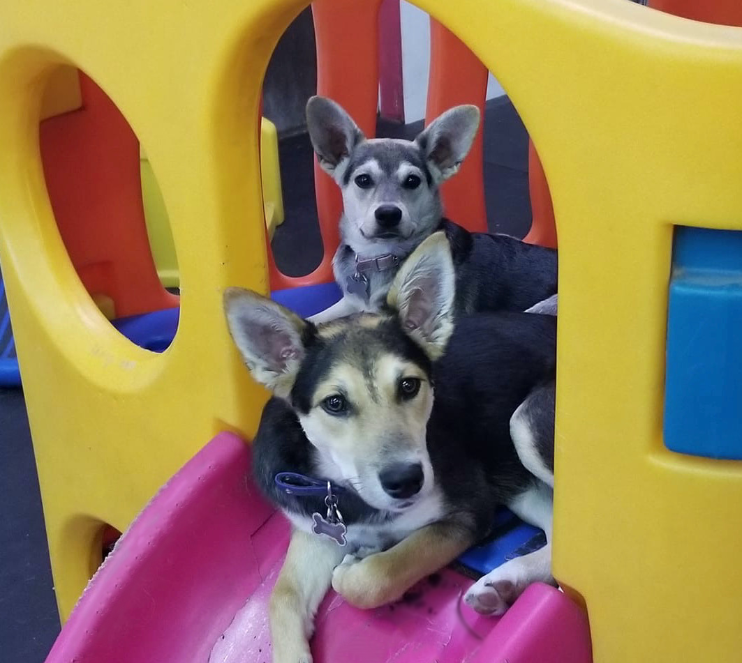 Two Dog Daycare Dogs on Slide